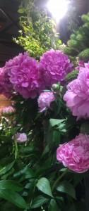 牡丹の花No2