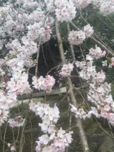 桜(田舎)