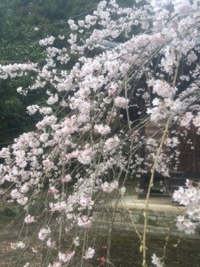 桜(田舎no2